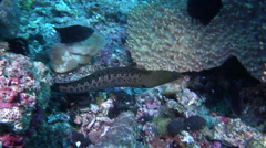 Giant moray swimming, Gymnothorax javanicus, HD, UP17925 Stock Footage
