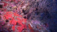 Intermediate Longfin batfish swimming, Platax pinnatus, HD, UP17929 Stock Footage