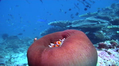 Clownfish swimming, Amphiprion percula, HD, UP17933 Stock Footage