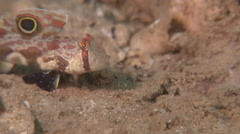 Twinspot goby feeding, Signigobius biocellatus, HD, UP17963 Stock Footage