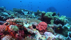 Yellow-speckled chromis swimming on deep coral reef, Chromis alpha, HD, UP27972 Stock Footage