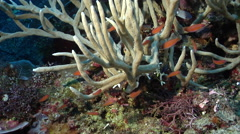 Adults and juveniles White finger sponge swimming on deep coral reef, Stock Footage