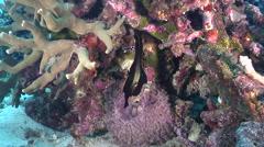 Juvenile Longfin batfish swimming on silty inshore reef, Platax pinnatus, HD, Stock Footage