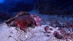 Juvenile Scythe triggerfish swimming, Sufflamen bursa, HD, UP27502 Stock Footage