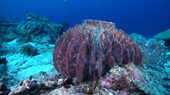 Barrel sponge on deep coral reef, Xestospongia testudinaria, HD, UP27944 Stock Footage