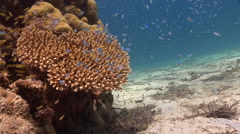 Common lionfish swimming on muck, Pterois volitans, HD, UP27437 Stock Footage