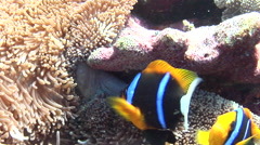 Orangefin anemonefish nesting, Amphiprion chrysopterus, HD, UP18016 Stock Footage