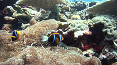 Orangefin anemonefish swimming, Amphiprion chrysopterus, HD, UP18015 Stock Footage