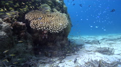 Common lionfish swimming on muck, Pterois volitans, HD, UP27419 Stock Footage