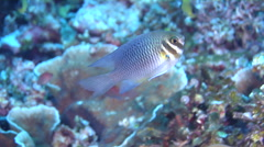 Eastern barhead damsel swimming, Neoglyphidodon mitratus, HD, UP18074 Stock Footage
