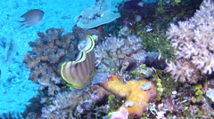 Ornate butterflyfish feeding, Chaetodon ornatissimus, HD, UP18075 - stock footage
