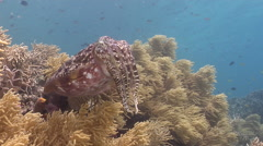 Broadclub cuttlefish hovering on shallow coral reef, Sepia latimanus, HD, Stock Footage