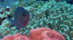 Yellow-speckled chromis hovering on deep coral reef, Chromis alpha, HD, UP27953 Stock Footage
