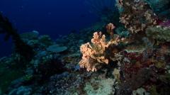 Sponge swimming on deep coral reef, Unidentified Species, HD, UP27375 Stock Footage