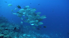 Bigeye trevally swimming and schooling on deep coral reef, Caranx sexfasciatus, Stock Footage