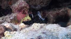 Lumpy green black slug snail walking, Chelynotus semperi, HD, UP27525 Stock Footage