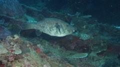 Blue-spotted pufferfish swimming, Arothron caeruleopunctatus, HD, UP18148 Stock Footage