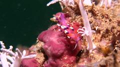 Whitetip purple cerrata pink slug walking, Flabellina exoptata, HD, UP18193 - stock footage