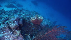 Orange lumpy sponge on deep coral reef, Unidentified species, HD, UP27467 Stock Footage