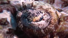Crocodilefish looking around, Cymbacephalus beauforti, HD, UP18219 Stock Footage