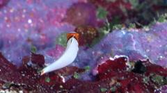 Juvenile Bicolor parrotfish swimming in overhang, Cetoscarus bicolor, HD, Stock Footage