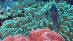 Yellow-speckled chromis hovering on deep coral reef, Chromis alpha, HD, UP27954 Stock Footage