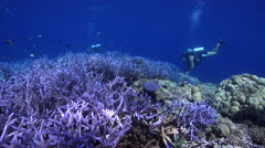 Ocean scenery beautiful field of blue staghorn coral, on shallow coral reef, HD, Stock Footage