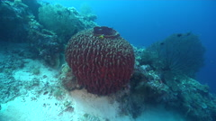 Barrel sponge swimming on deep coral reef, Xestospongia testudinaria, HD, Stock Footage