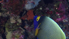 Yellow-mask angelfish swimming in overhang, Pomacanthus xanthometopon, HD, Stock Footage