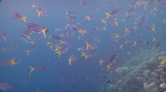 Yellowtail fusilier feeding and schooling, Caesio cuning, HD, UP18302 Stock Footage