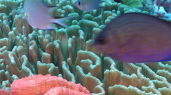 Yellow-speckled chromis swimming on deep coral reef, Chromis alpha, HD, UP27964 Stock Footage