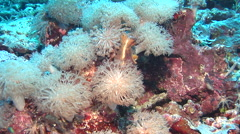 Common reef octopus emerging, Octopus cyanea, HD, UP18341 Stock Footage