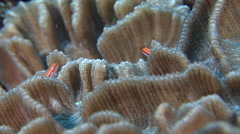 Neon dwarfgoby territorial on hard coral microhabitat, Eviota atriventris, HD, Stock Footage