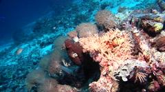 Common reef octopus, Octopus cyanea, HD, UP18349 Stock Footage