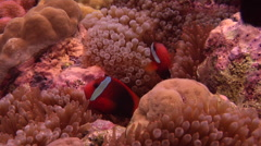 Red-and-Black anemonefish hovering, Amphiprion melanopus, HD, UP18359 Stock Footage