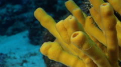 Yellow tube sponges on deep coral reef, Auletta sp., HD, UP27367 Stock Footage