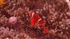 Spine-cheek Anemonefish swimming, Premnas biaculeatus, HD, UP18371 Stock Footage