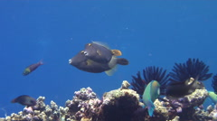 Yelloweye filefish swimming, Cantherhines dumerili, HD, UP18377 - stock footage
