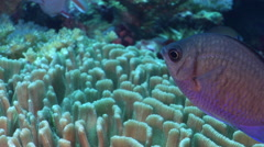Yellow-speckled chromis swimming on deep coral reef, Chromis alpha, HD, UP27963 Stock Footage