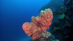 Orange lumpy sponge on deep coral reef, Unidentified species, HD, UP27469 Stock Footage