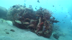 Mother-in-law fish hovering on wreckage, Diagramma picta, HD, UP18437 Stock Footage