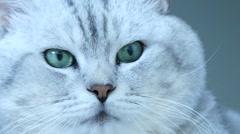British chinchilla cat head Stock Footage
