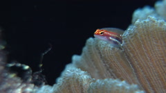 Neon dwarfgoby on hard coral microhabitat, Eviota atriventris, HD, UP27164 Stock Footage