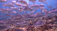 Group of scuba divers swimming on shallow coral reef with Bigeye trevally in Stock Footage
