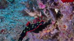Dusky green spot orange gill black slug sniffing, Nembrotha kubaryana, HD, Stock Footage