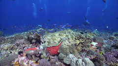 Group of scuba divers swimming on shallow coral reef with Bluestreak fusilier in Stock Footage