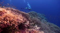 Distant scuba diver swimming on beautiful healthy and diverse reef in Solomon Stock Footage