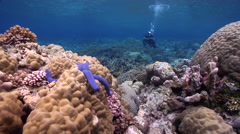Expert diver with perfect buoyancy on shallow coral reef with Blue linckia Stock Footage