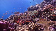 Ocean scenery anthias, on shallow coral reef, HD, UP18560 Stock Footage