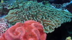 Yellow-speckled chromis swimming on deep coral reef, Chromis alpha, HD, UP27958 Stock Footage